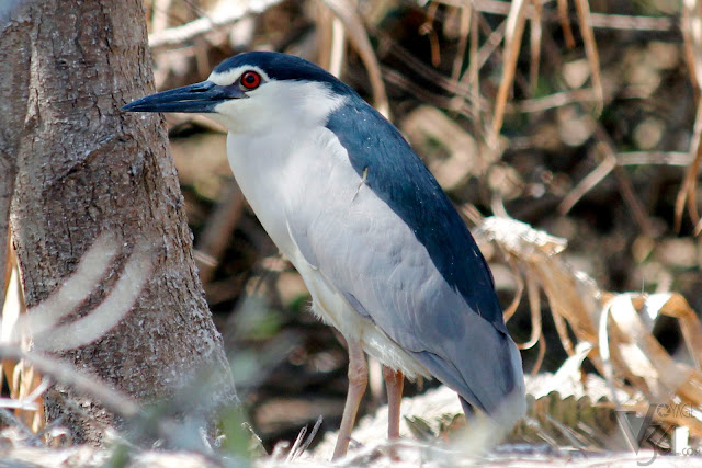 Black-crowned Night Heron, Ranganathittu