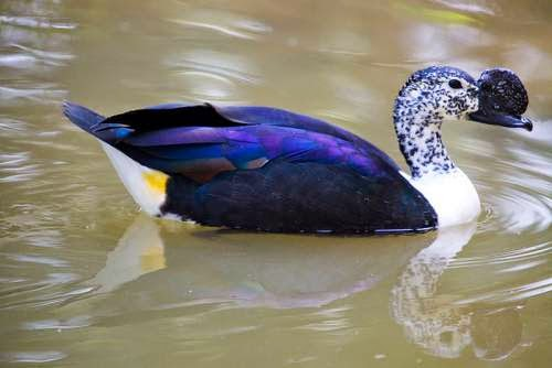 Indian birds - Knob-billed duck - Sarkidiornis melanotos