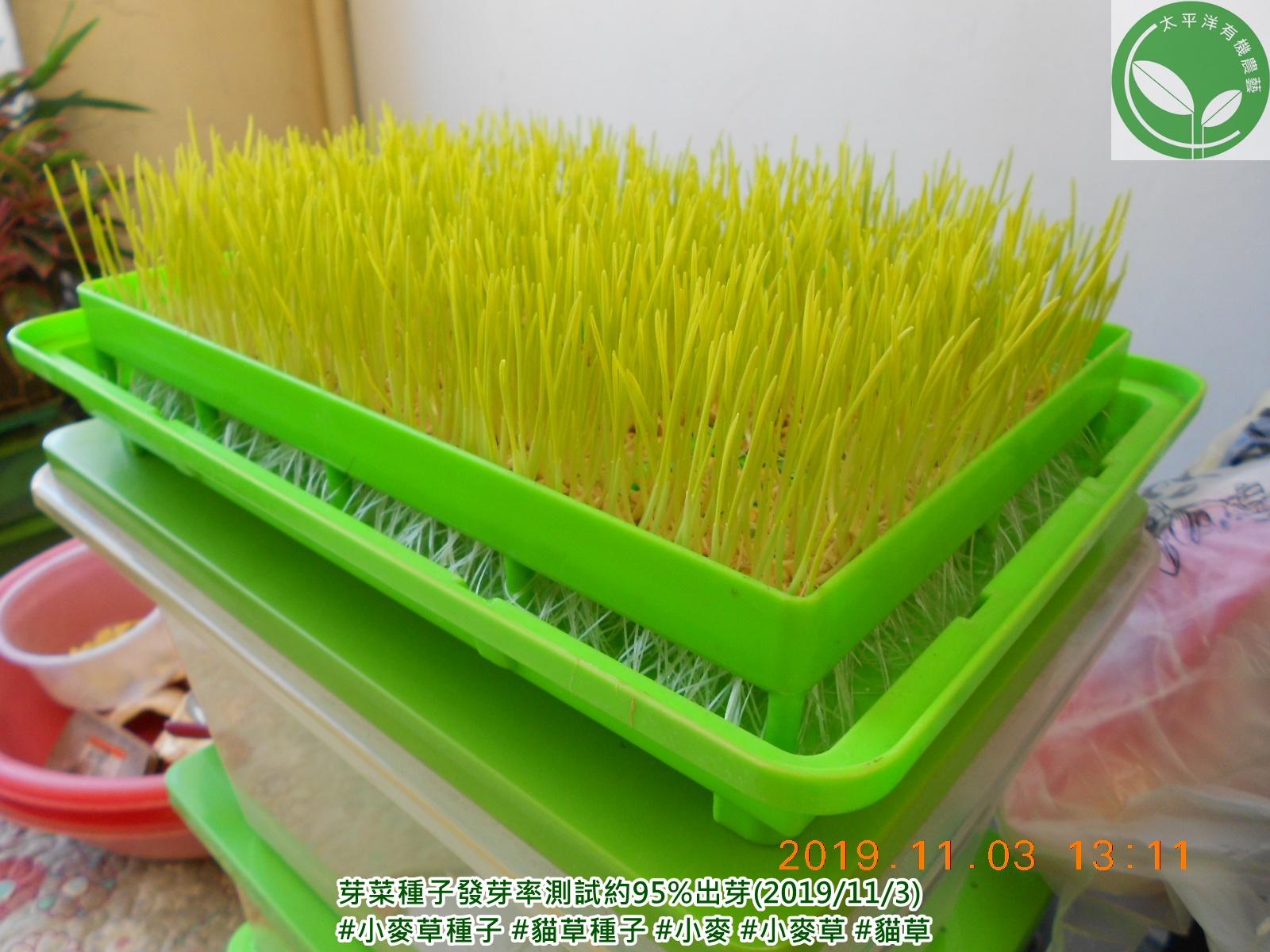 小麥,貓草,種貓草,如何種貓草,貓草水耕,小麥草,蝦皮小麥草種子,貓草怎麼種,水耕小麥草,貓草種植