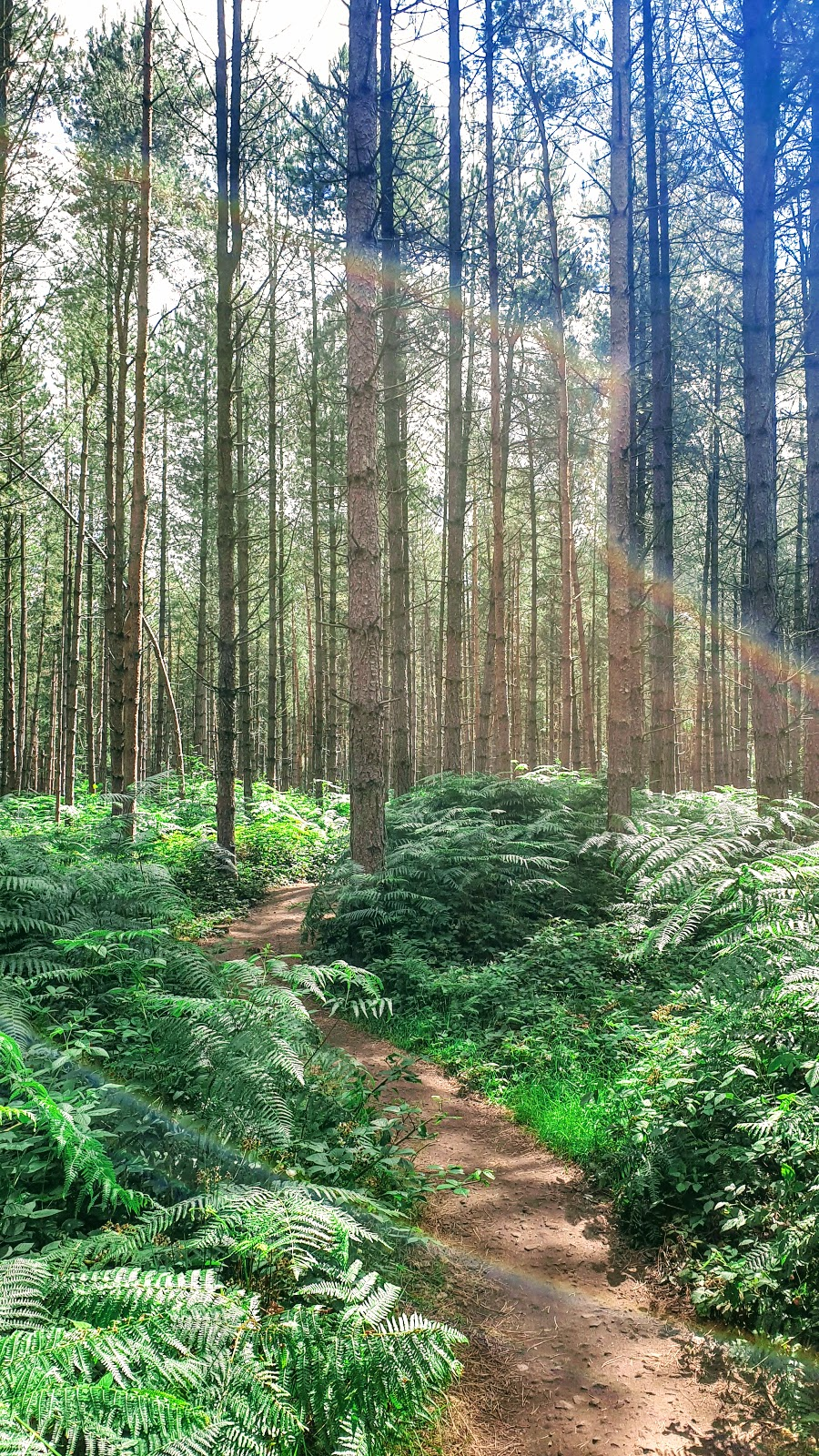 Tall Pine Trees in Sherwood Forest, Nottinghamshire, England.