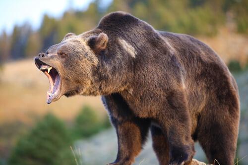 gấu Kodiak