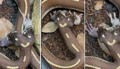 Mitos ular berkepala dua