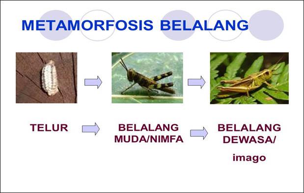 Metamorfosis Belalang : Tahap, Gambar, dan Penjelasannya