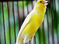 Perbedaan Burung Murai dan Burung Kenari