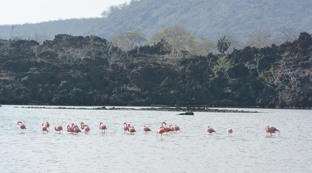 Floreana flamingos
