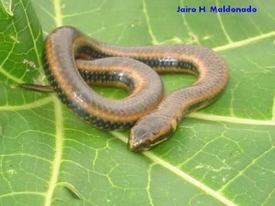 culebras de Argentina Falsa yarará Pseudoeryx plicatilis