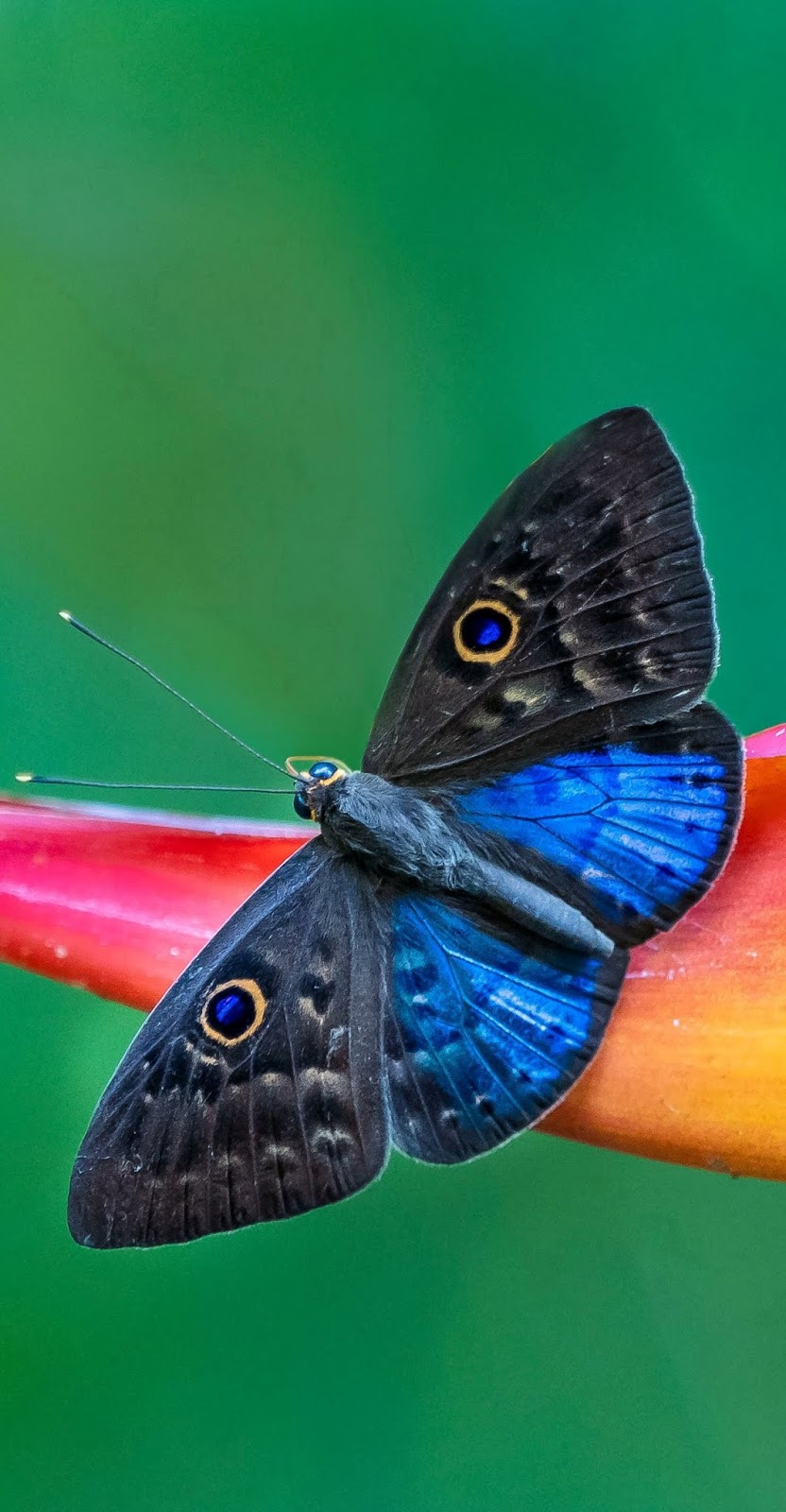 Blue-winged eurybia butterfly.