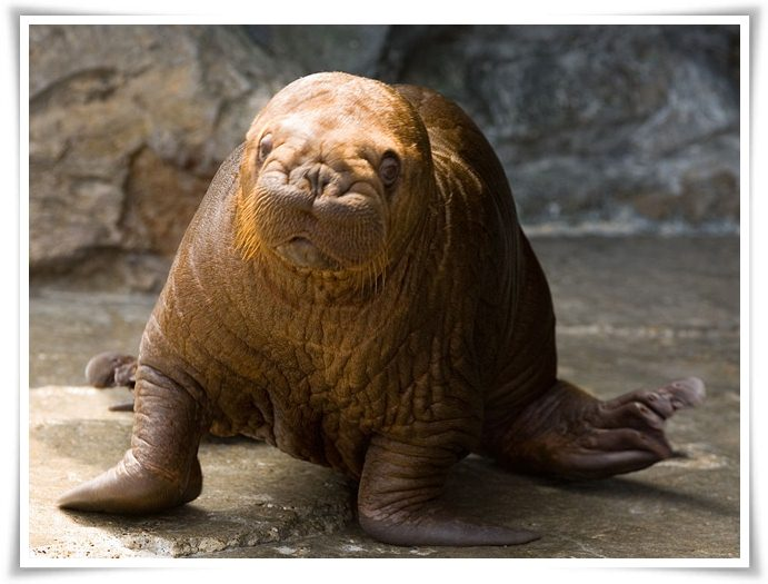 Walrus facts pictures