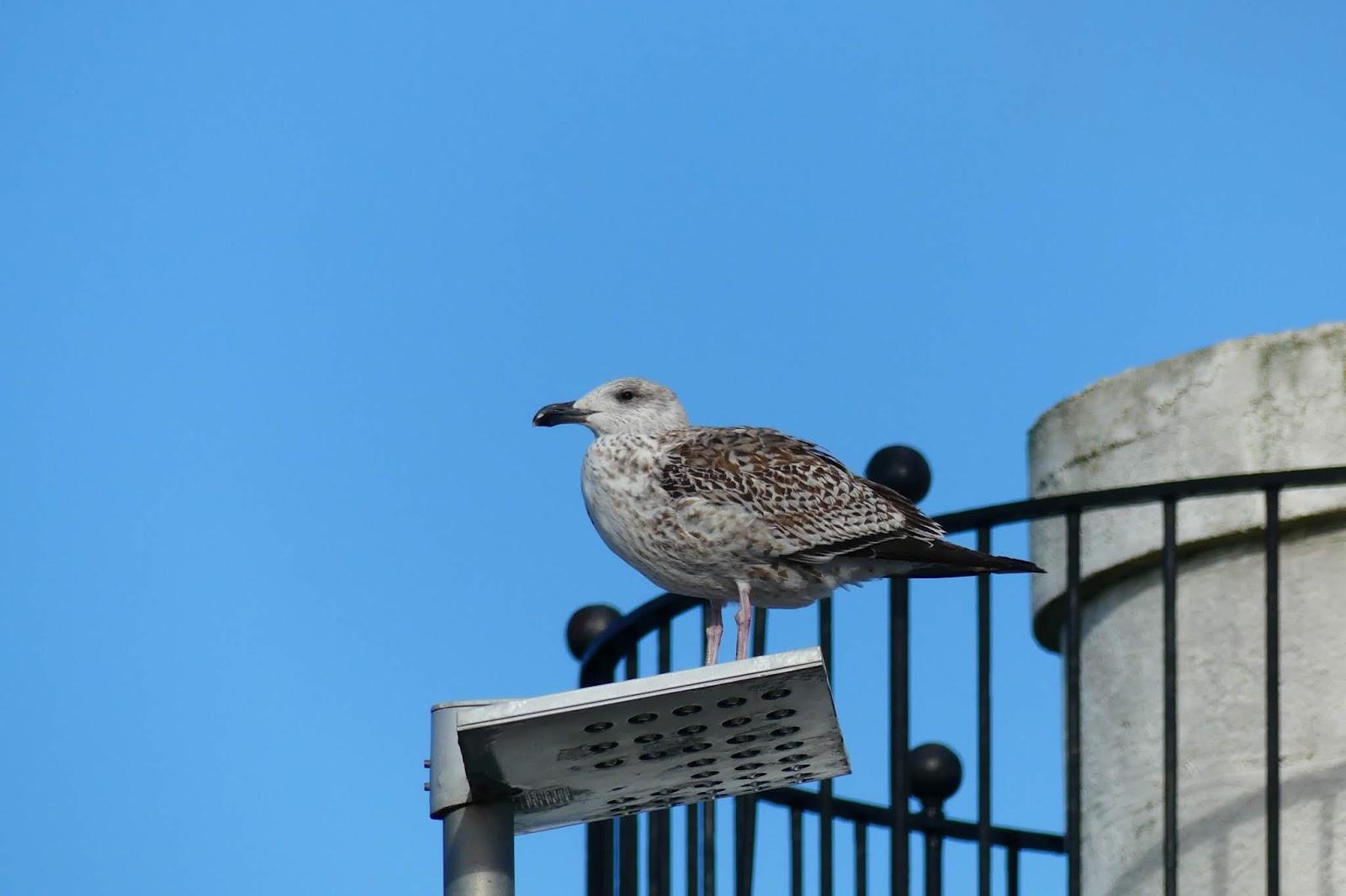 grau-brauner Vogel vor blauem Himmel auf grauer Leuchte
