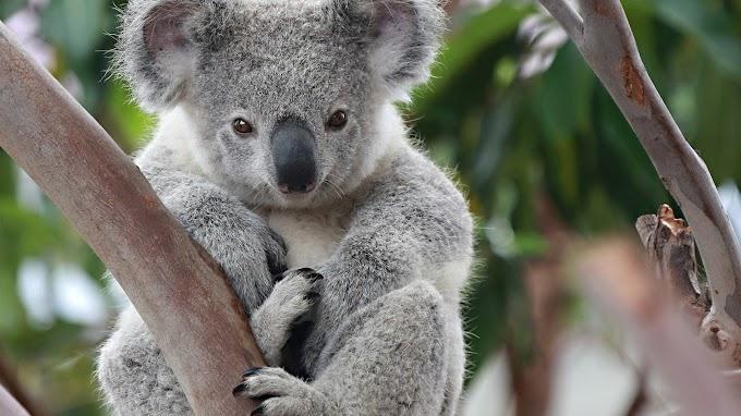 Koalaların Dünyası