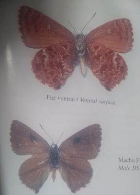 Mariposa cobriza (Ministrymon sanguinalis)