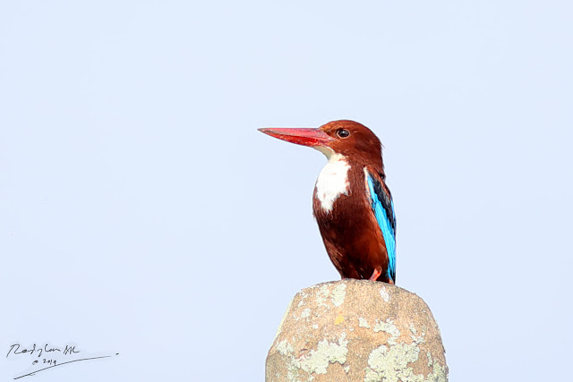 White-throated Kingfisher resting on a electric pole
