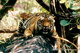 Tiger in Central Indian forests