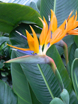 Strelitzia reginae Bird of Paradise at Allan Gardens Conservatory 2016 Spring Flower Show by garden muses-not another Toronto gardening blog