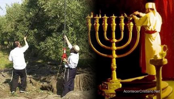 Rabinos cosechando aceitunas para elaborar el aceite de oliva puro para el candelabro
