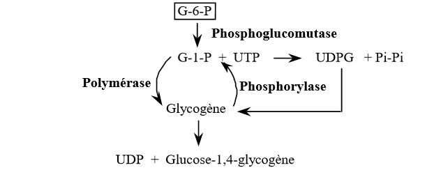 Synthèse du glycogène