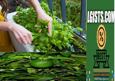 Bergamot :health benefits of bergamot