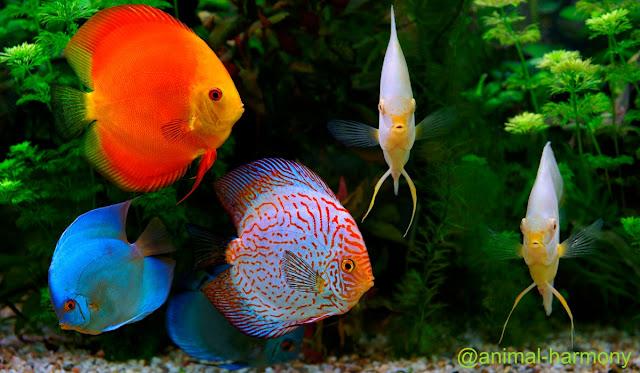 3 Macam Jenis Spesies Ikan Hias Discus