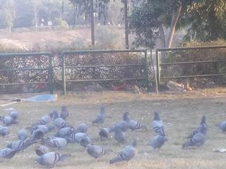 Pigeons Bird