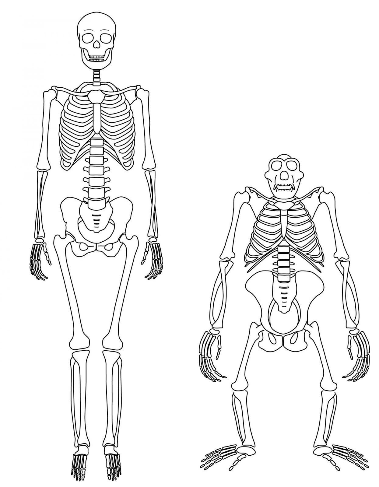human skeleton walking – lickclick, Skeleton