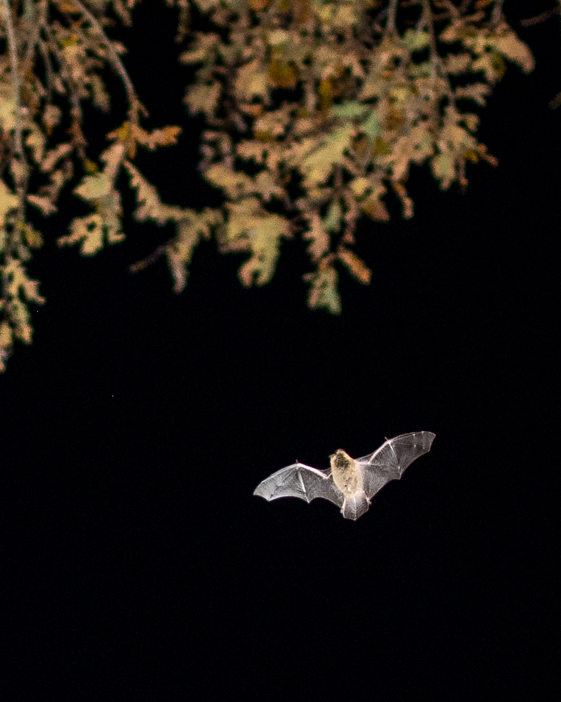 Pipistrelle Bat feeding on insects over the lake