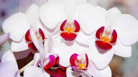 Jenis-jenis bunga anggrek