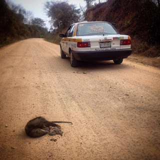 Un tlacuache atropellado con las tripas fuera  sirve para me haga consciente del daño  incalculable que provocan las carreteras a  nuestro planeta y a la selva chiapaneca.