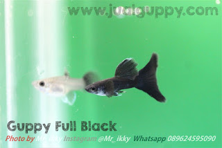 Jual Guppy Full Black,  Harga Guppy Full Black,  Toko Guppy Full Black,  Diskon Guppy Full Black,  Beli Guppy Full Black,  Review Guppy Full Black,  Promo Guppy Full Black,  Spesifikasi Guppy Full Black,  Guppy Full Black Murah,  Guppy Full Black Asli,  Guppy Full Black Original,  Guppy Full Black Jakarta,  Jenis Guppy Full Black,  Budidaya Guppy Full Black,  Peternak Guppy Full Black,  Cara Merawat Guppy Full Black,  Tips Merawat Guppy Full Black,  Bagaimana cara merawat Guppy Full Black,  Bagaimana mengobati Guppy Full Black,  Ciri-Ciri Hamil Guppy Full Black,  Kandang Guppy Full Black,  Ternak Guppy Full Black,  Makanan Guppy Full Black,  Guppy Full Black Termahal,  Adopsi Guppy Full Black,  Jual Cepat Guppy Full Black,  Kreatif Guppy Full Black,  Desain Guppy Full Black,  Order Guppy Full Black,  Kado Guppy Full Black,  Cara Buat Guppy Full Black,  Pesan Guppy Full Black,  Wisuda Guppy Full Black,  Ultah Guppy Full Black,  Nikah Guppy Full Black,  Wedding Guppy Full Black,  Flanel Guppy Full Black,  Special Guppy Full Black,  Suprise Guppy Full Black,  Anniversary Guppy Full Black,  Moment Guppy Full Black,  Istimewa  Guppy Full Black,  Kasih Sayang  Guppy Full Black,  Valentine  Guppy Full Black,  Tersayang Guppy Full Black,  Unik Guppy Full Black,