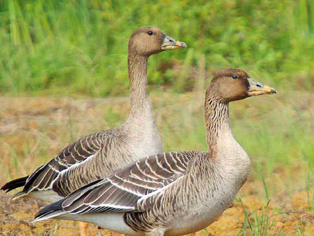 Bean Geese, pair, close-up