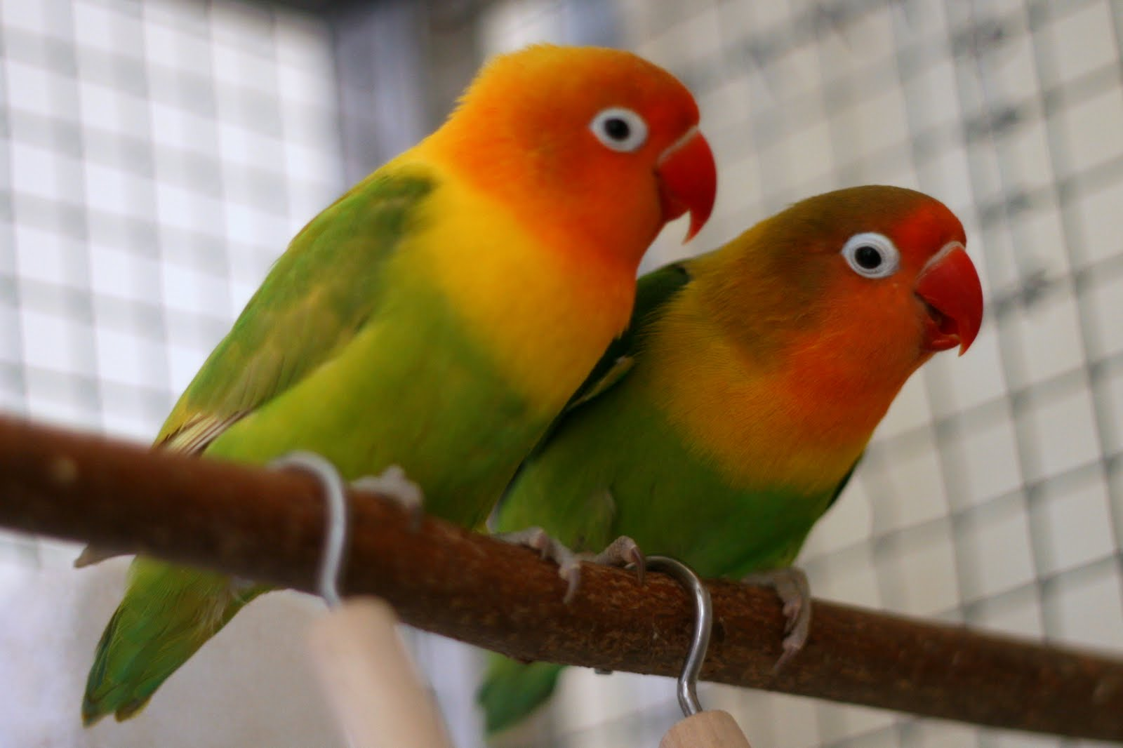 jenis jenis burung lovebird