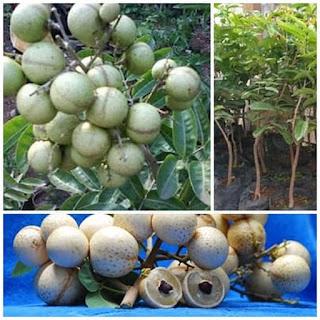 kelengkeng-aroma-durian.jpg
