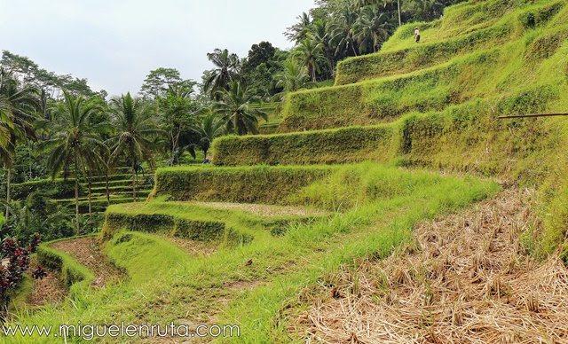 Subak-cultivo-Tegalalang