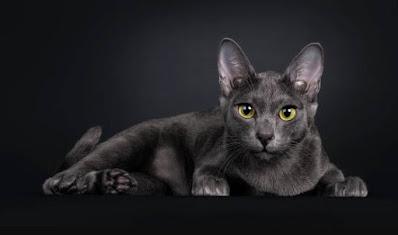 Sejarah Ras Kucing Korat