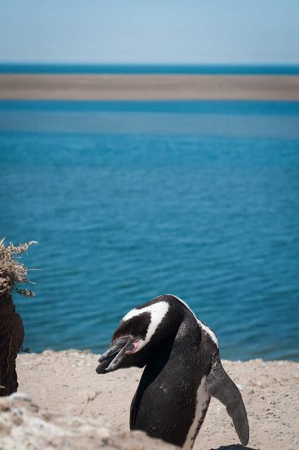 Penguin, Península Valdés, Argentina
