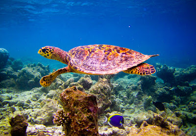 Hawksbill Sea Turtle. Photo via Adobe Stock.