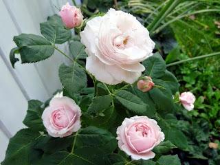 Rose Mme Alfred de Rougemont