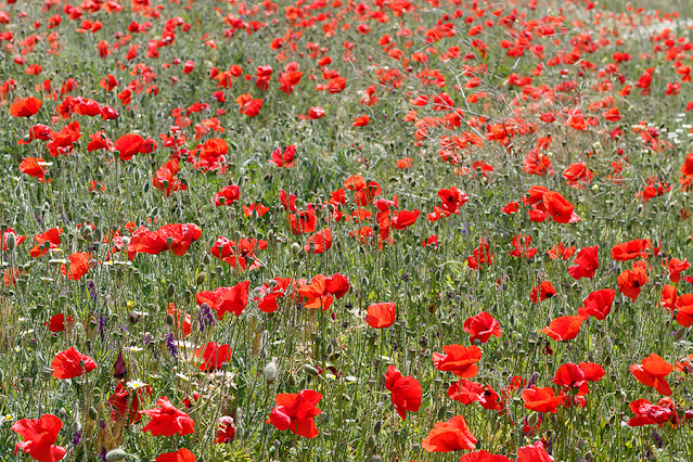 Field With Red Poppies in Spring Blossom Free Image