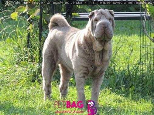 الكلب الصيني Shar Pei