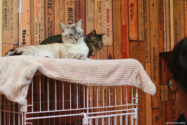 猫:保護猫カフェ ネコリパブリック 白縞 キジトラ