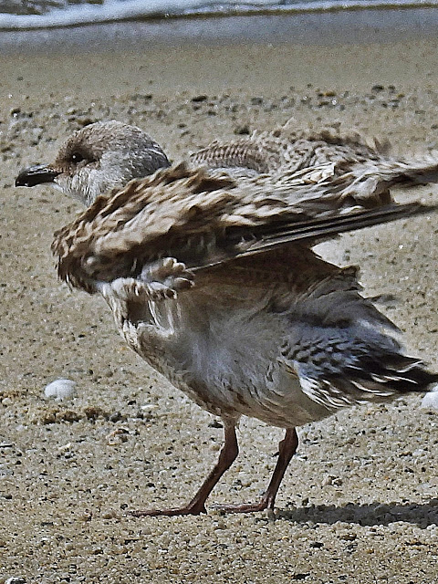 A young seagull on the beach at Carlyon Bay