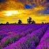 Sunset Lavender Fields Provence France