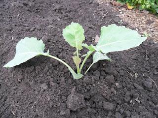 После прореживания на грядке остаются самые сильные растения