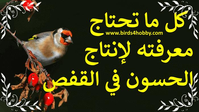 طائر الحسون طريقة إنتاج طائر الحسون في القفص
