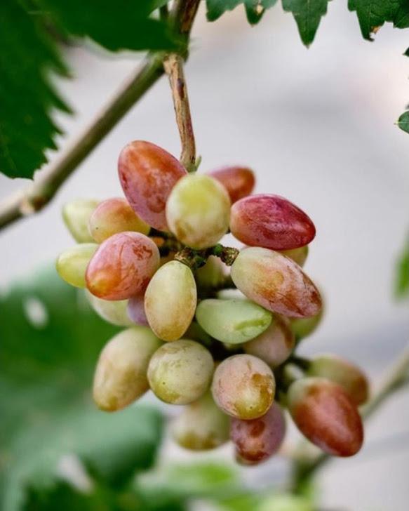 Bibit tanaman anggur baikonur VALID Padang