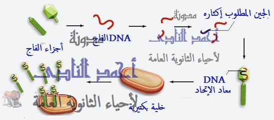 إستنساخ تتابعات dna -إنزيمات القطع أو القصر البكتيرية -  عملية الإستنساخ – طرق الإستنساخ – البلازميد – الفاج - pcr– أحياء الثالث الثانوى