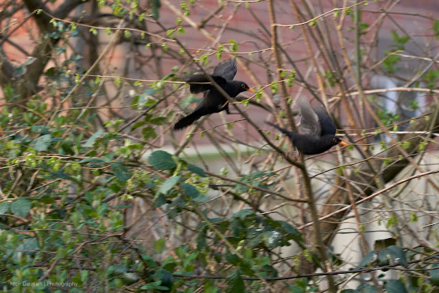 My shutter speed was too slow to capture fighting blackbirds sharply (250th. sec)