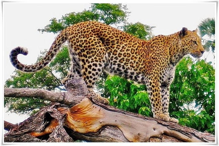 55+ Gambar Hewan Macan Tutul Jawa HD Terbaik