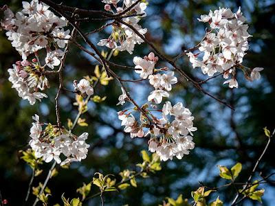 Sakura (Prunus × yedoensis) flowers: Engaku-ji