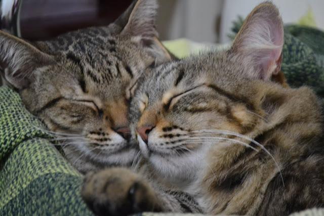 Minhas gatas: Camomila e Poesia