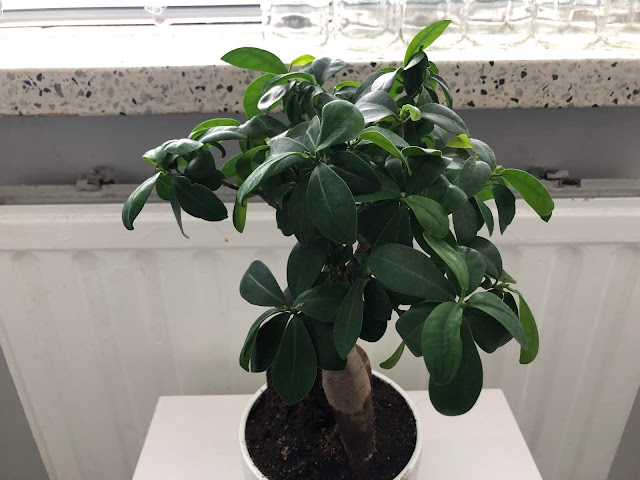 Bonsaipuu Varjoviikuna on yksi puumaisista lempikasveistani. Lehdet rehottaa, vaikka talvella se oli lähes lehdetön